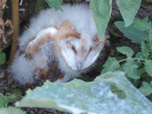 owlet in veggies