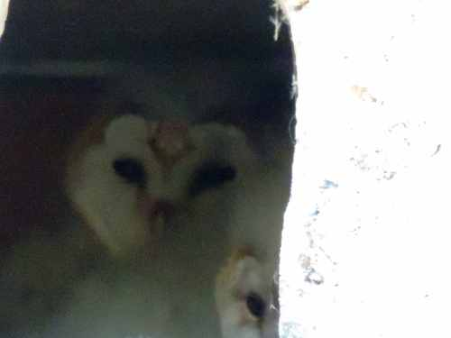 two owlets in nest