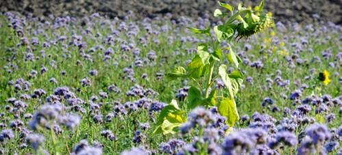 crop of purple