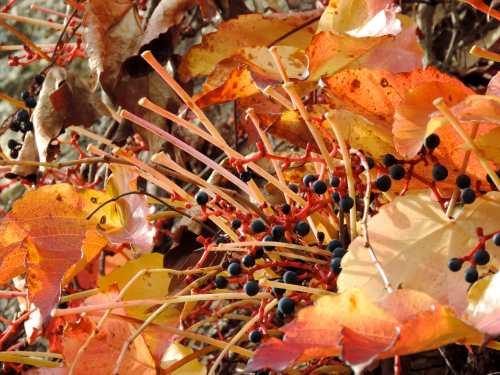 vine leaf stalks