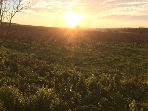 sun over the vines
