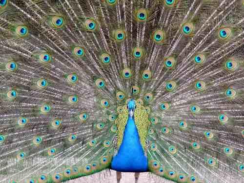 peacock full