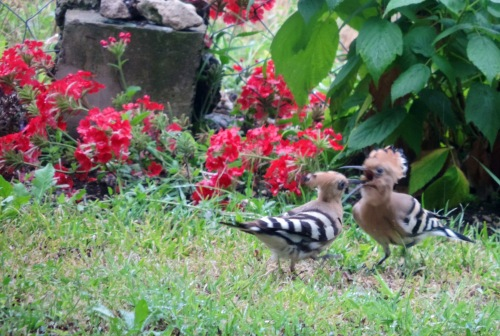 hoopoes feeding.jpg