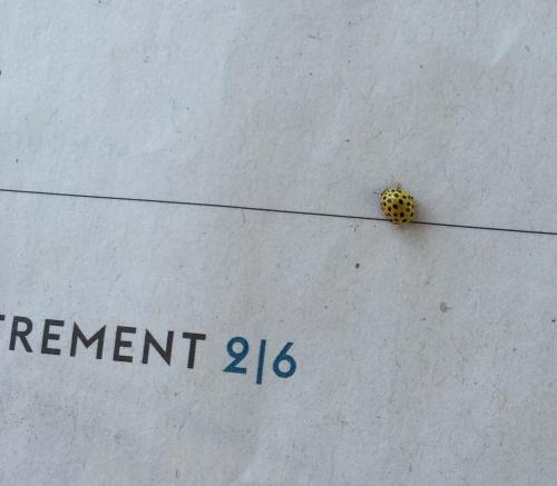 ladybird yellow