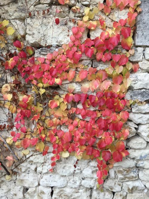 red ivy.jpg