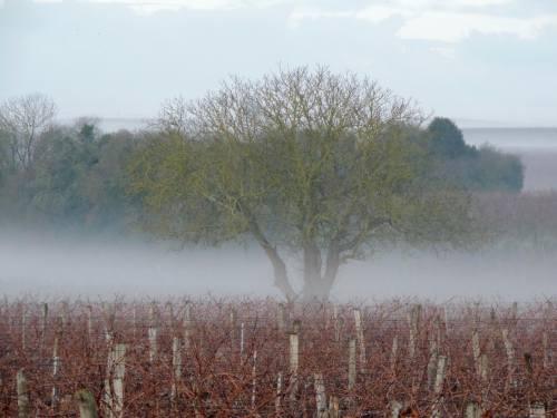 tree-vine-fog