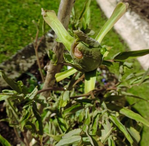 tree peony bud